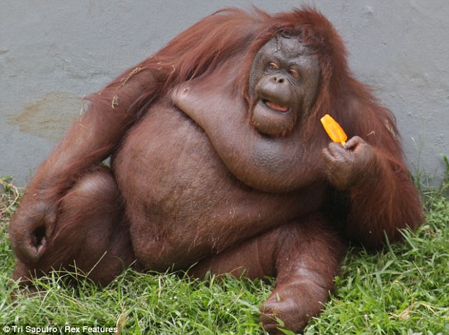 orangutan begs ice lolly