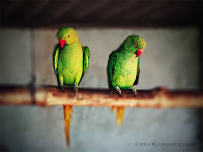 husband and wife green parrots