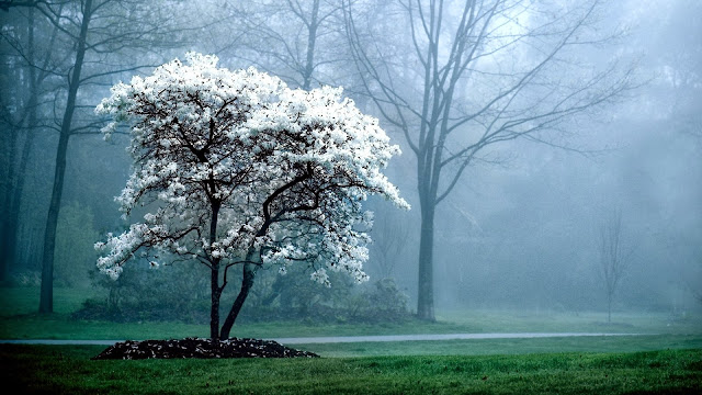 Blooming tree white flowers forest HD Wallpaper