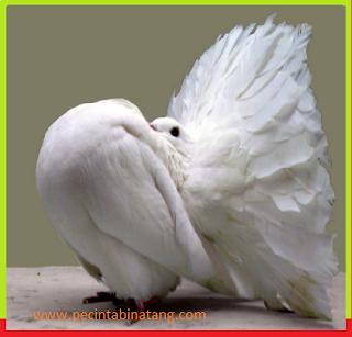 Merpati burung yang sangat setia kepada pasangannya
