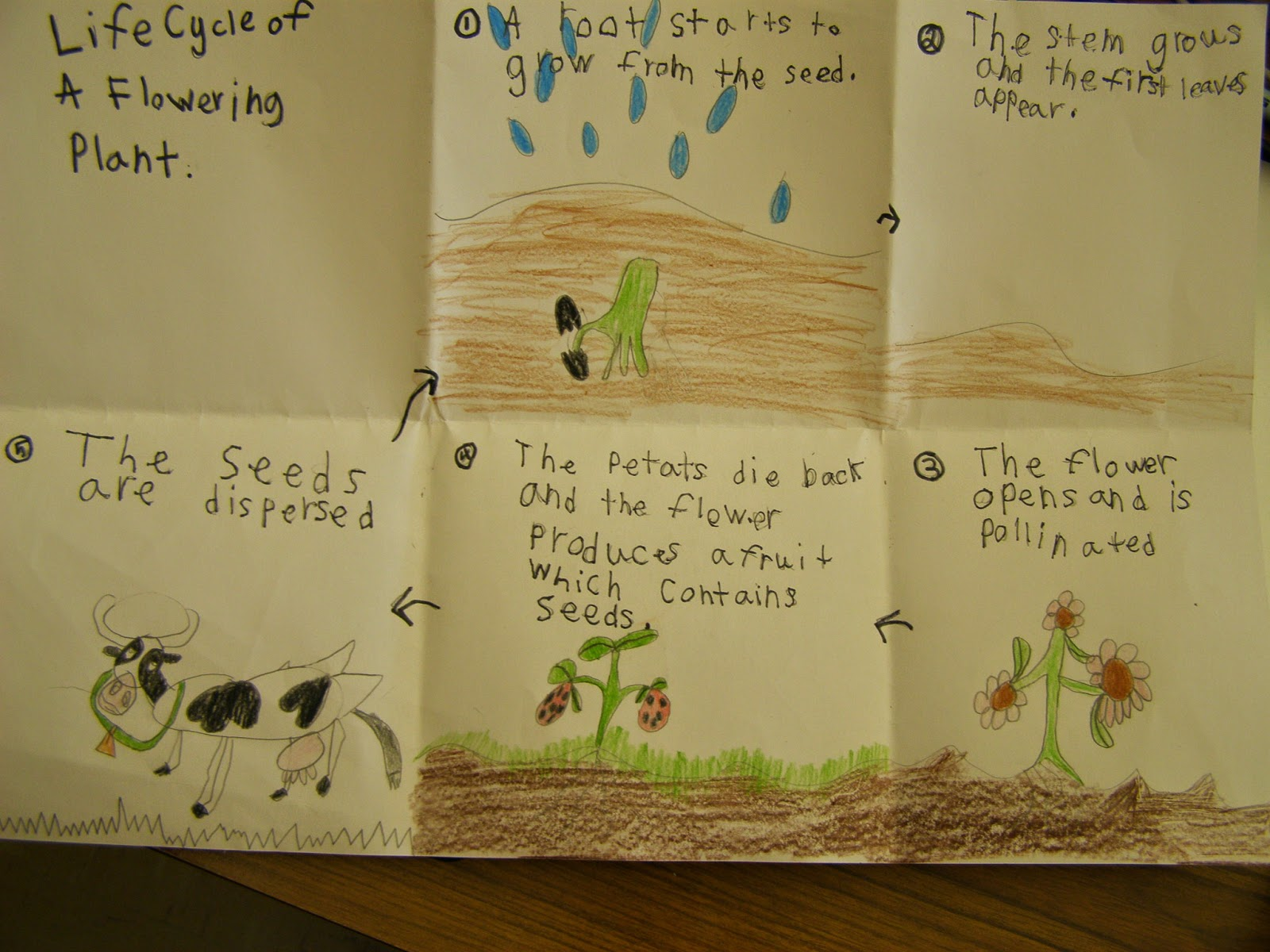 Mrs  Peterson U0026 39 S 2nd Grade  Life Cycle Of Flowering Plants