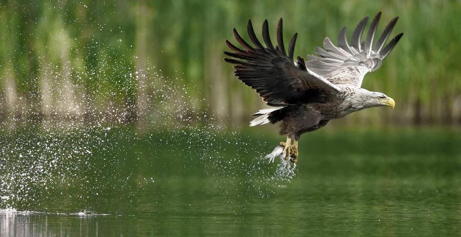 pigargo durante la pesca