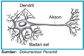 Neuron motorik (Efferent)