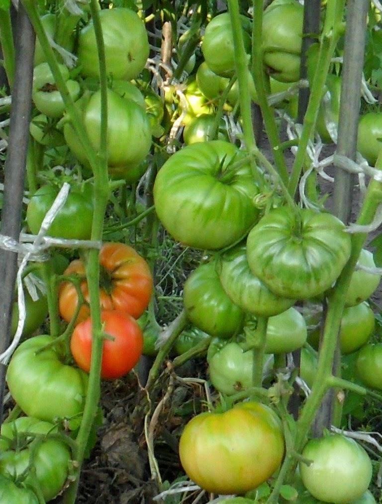 Плоды помидора Алтайский Шедевр