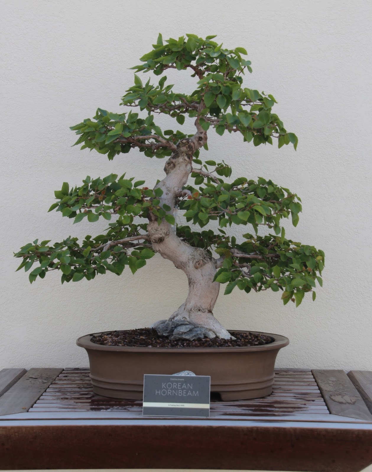Visual St Paul Bonsai Korean Hornbeam