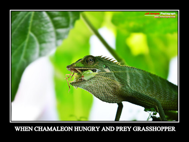 When chameleon hungry and prey grasshopper