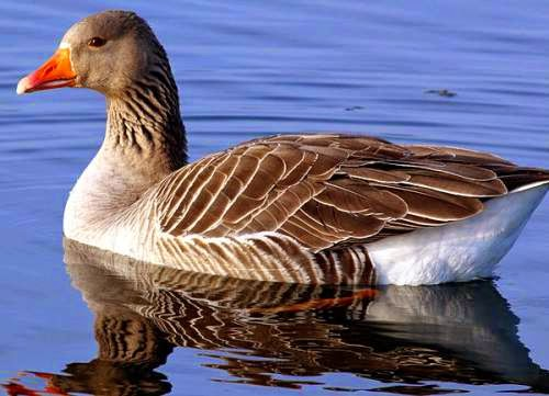 Indian birds - Greylag goose - Anser anser