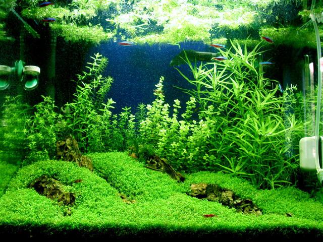Plant   Hemianthus Callitrichoides  HC Dwarf Baby Tears Carpet