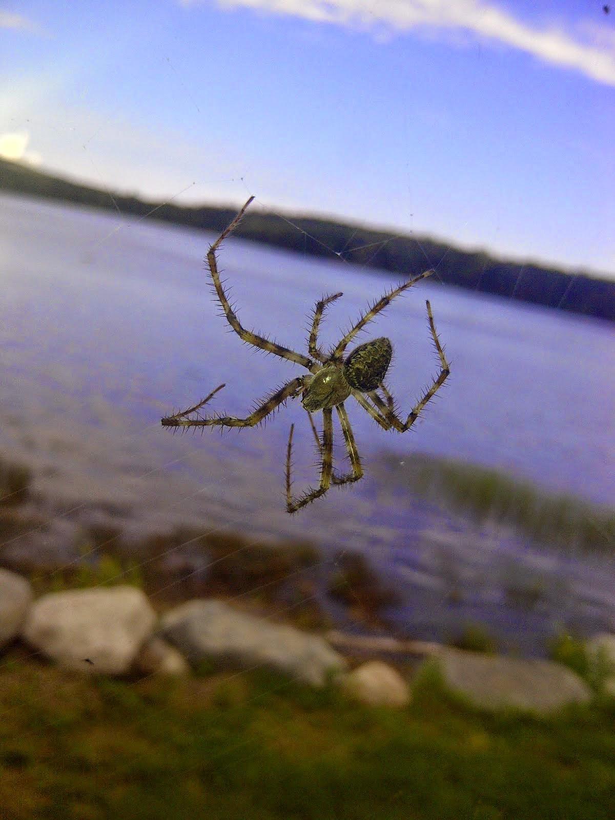 Maine spider