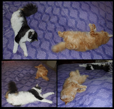 Lazy Boys! Anakin Two Legged Cat & Mika