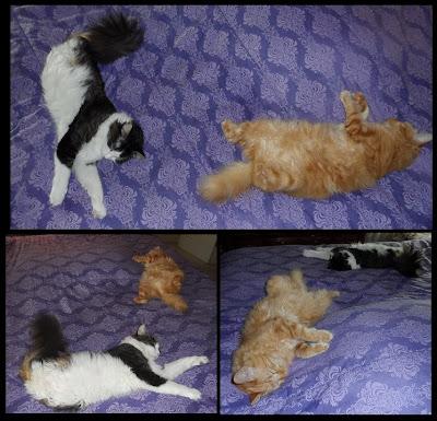 Lazy Boys! Anakin Two Legged Cat & Mika
