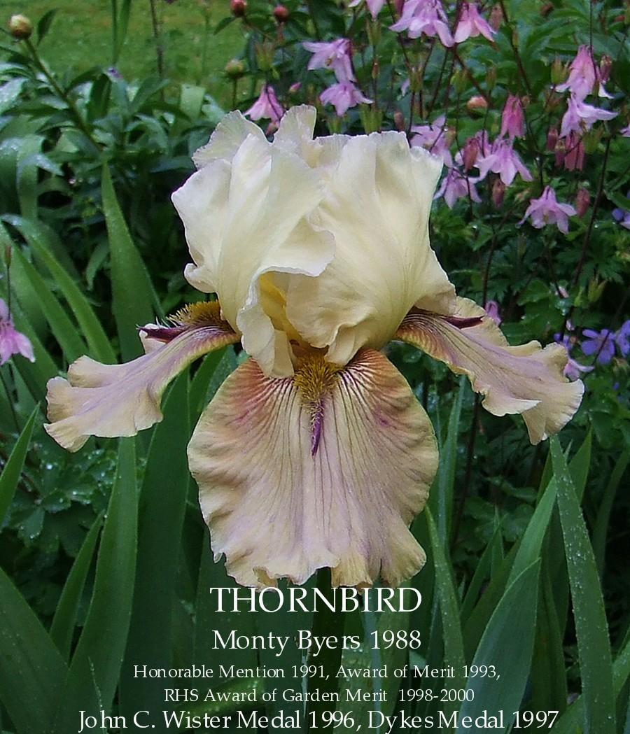 Tall Bearded Iris Thornbird Heritage Irises