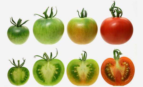 Khasiat Buah Tomat untuk Kesehatan dan Kecantikan