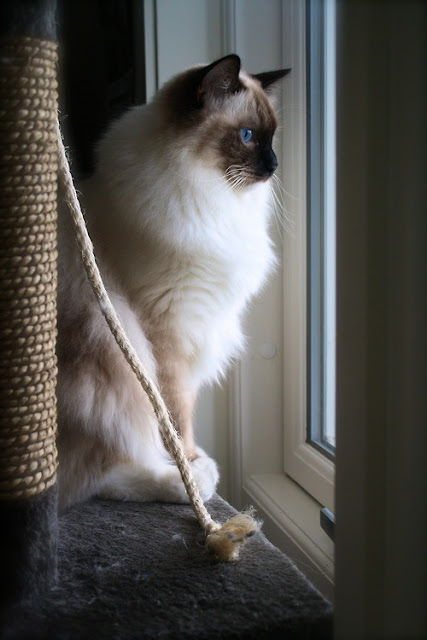 Life expectancy in Ragdoll Cats