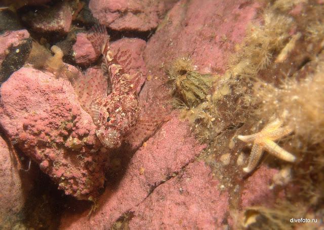 Рыба с морской звездой Белое море
