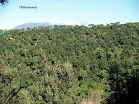 El Montseny sobresortint d'una pineda de pi pinyer