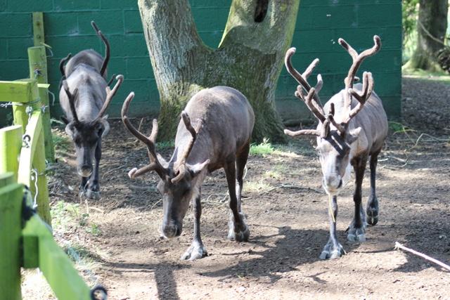 reindeer whipsnade