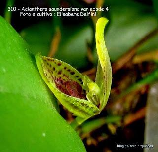 Pleurothallis saundersiana, Pleurothallis felis-lingua - Acianthera felis-lingua - Pleurothallis juergensii, Acianthera juergensii, microorquidea