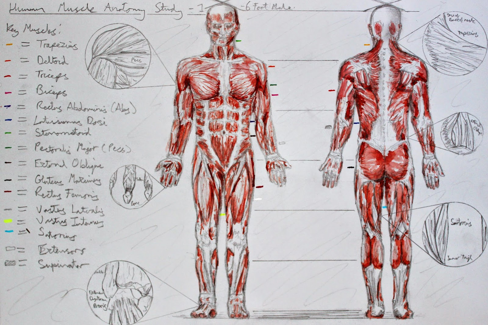 Jason Bartlett: Visual Arts & Animation - Anatomy: Muscle Assignment