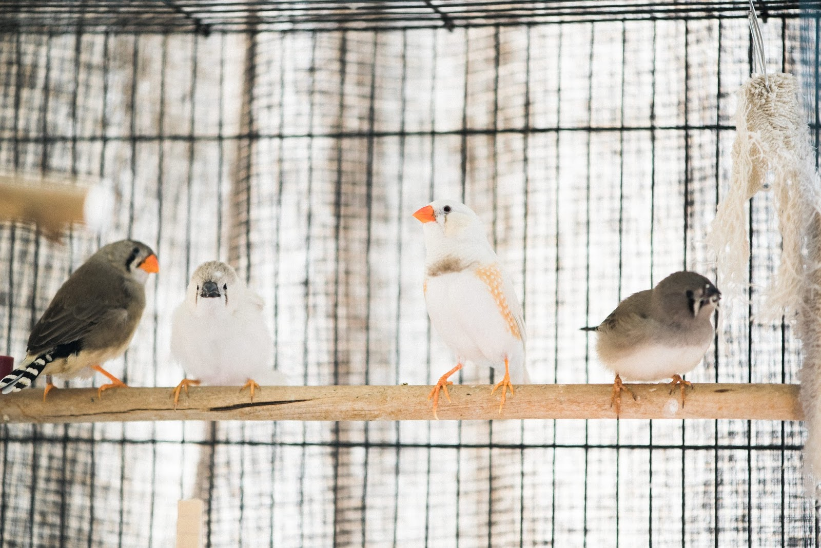 zebra finch family