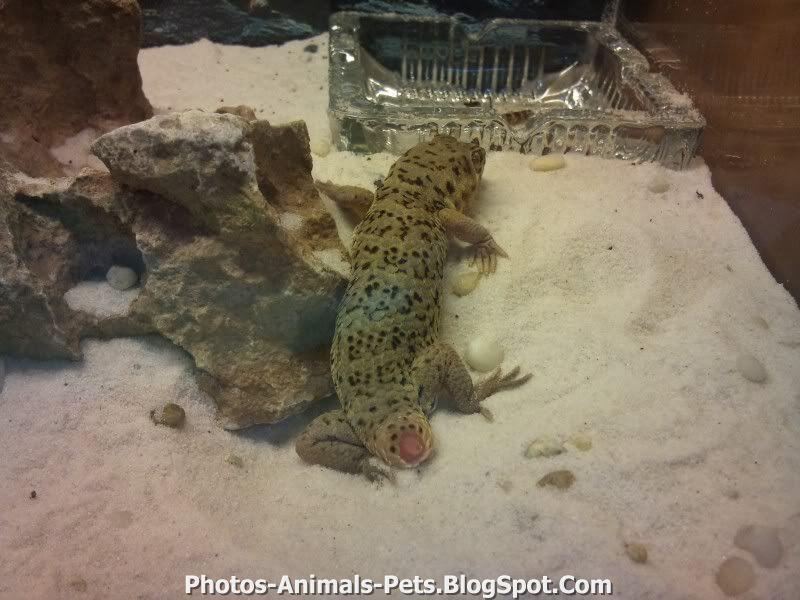 http://4.bp.blogspot.com/-JSApF3ve0Tk/TxWPKsBqPaI/AAAAAAAAC6Y/SkIG0_gjOLw/s1600/gecko%2Bpets.jpg