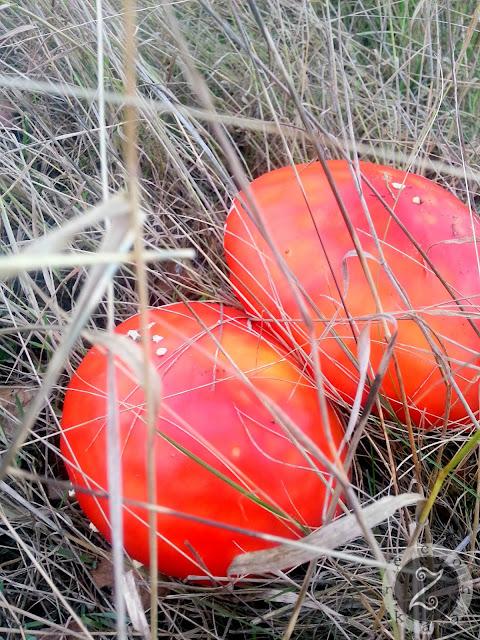 jesien muchomory