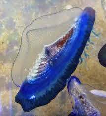 http://www.theguardian.com/world/2014/jul/31/us-west-coast-jellyfish-velella