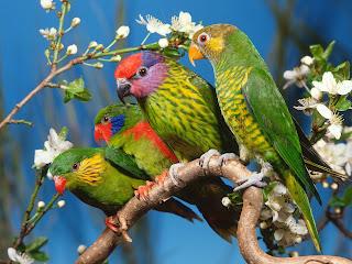 Wallpaper Gambar Burung Betet