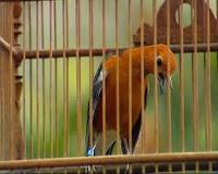 Tips Merawat Burung