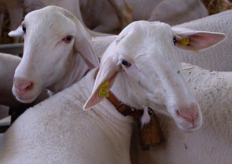 """Los seres """"humanos"""" matan y tragan a un millón quinientas mil ovejas (1.500.000) cada... día."""