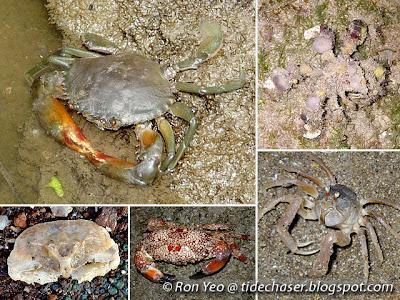 Crabs (Infraorder Brachyura)