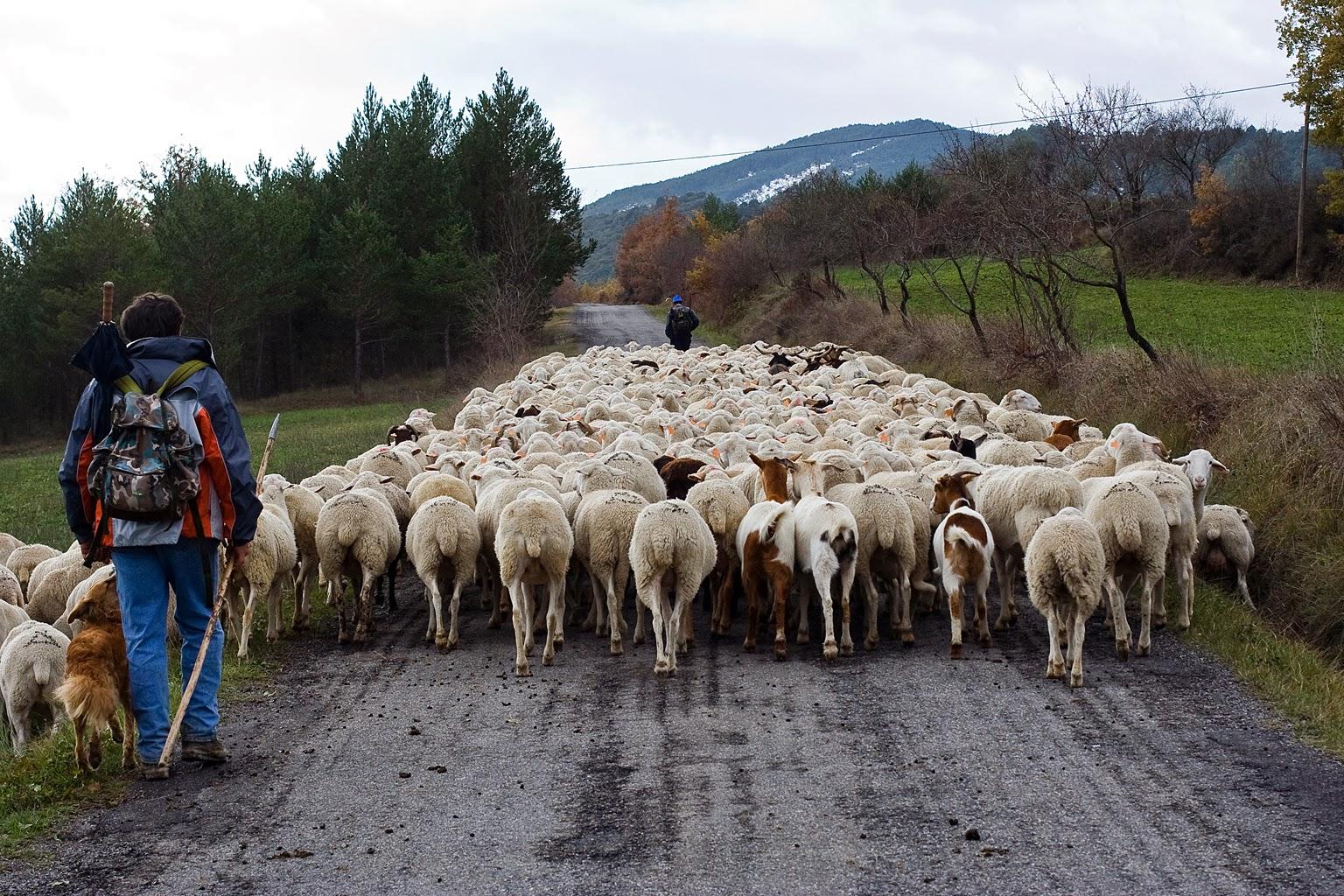 Subida de ganado a puerto