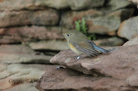 http://keithscovell.blogspot.co.uk/search/label/Red-flanked%20Bluetail