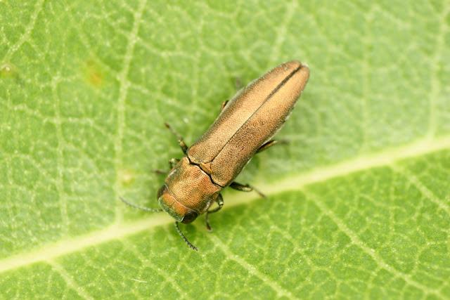 Agrilus roscidus