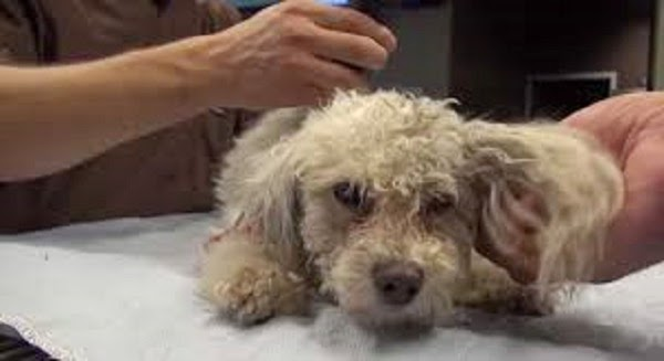 They Rescued A Poodle Who Had Been Knocked Down. She Showed Her Gratitude In The Sweetest Way
