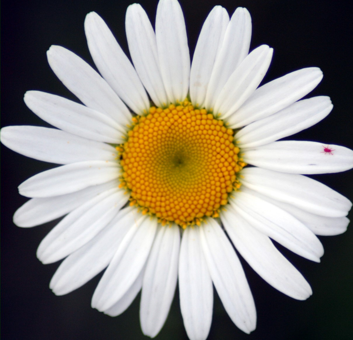 white daisy flower picture yellow daisy flower: flowers-picture.blogspot.com/2011/08/daisy-flower-4.html