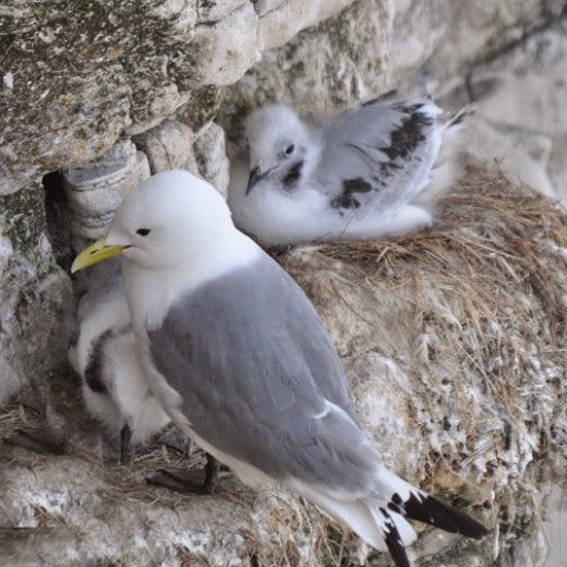 kittiwake adult with chick