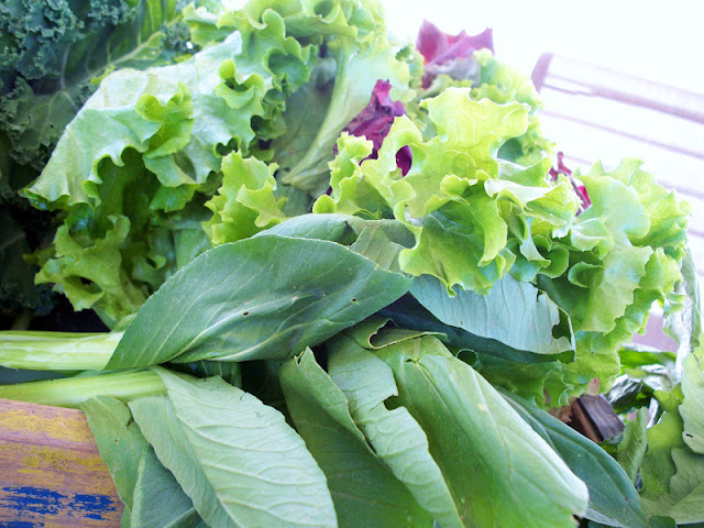 lettuce and bok choy fresh from the farm