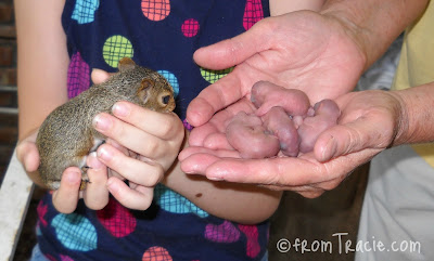 Baby Grey Squirrels