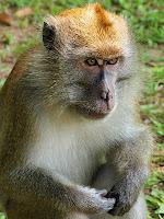 Pensive monkey - MacRitchie Park
