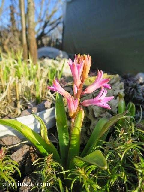 Hyacinthus orientalis, аленин сад, апрель в саду, цветы в апреле, розовые цветы, гиацинты,
