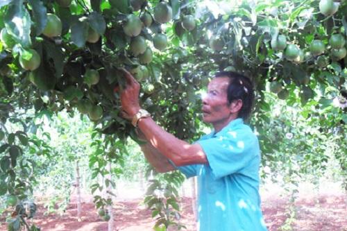 Gia Lai: Làm giàu từ cây chanh leo