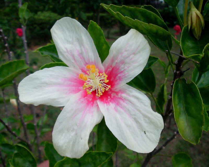 Hibiscus Flowers Pictures: White Hibiscus Flower # 1