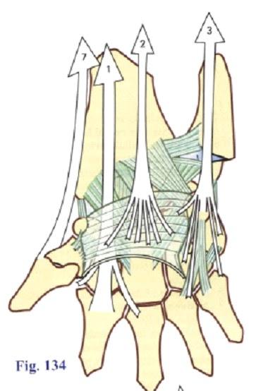 Bases de Biomecanica Articular del Miembro Superior.: Músculos y ...