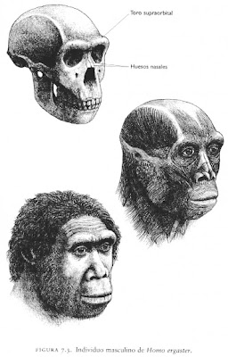 los primeros hombres Homo ergaster