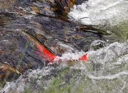 http://newswatch.nationalgeographic.com/2014/07/31/sarufutsu-river-jumping-with-itou-salmon-researchers-report/