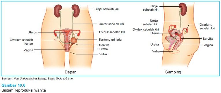Alat Reproduksi Wanita dan Proses Pembentukan Ovum