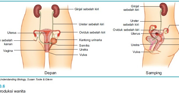 beritaku alat reproduksi wanita dan proses pembentukan ovum