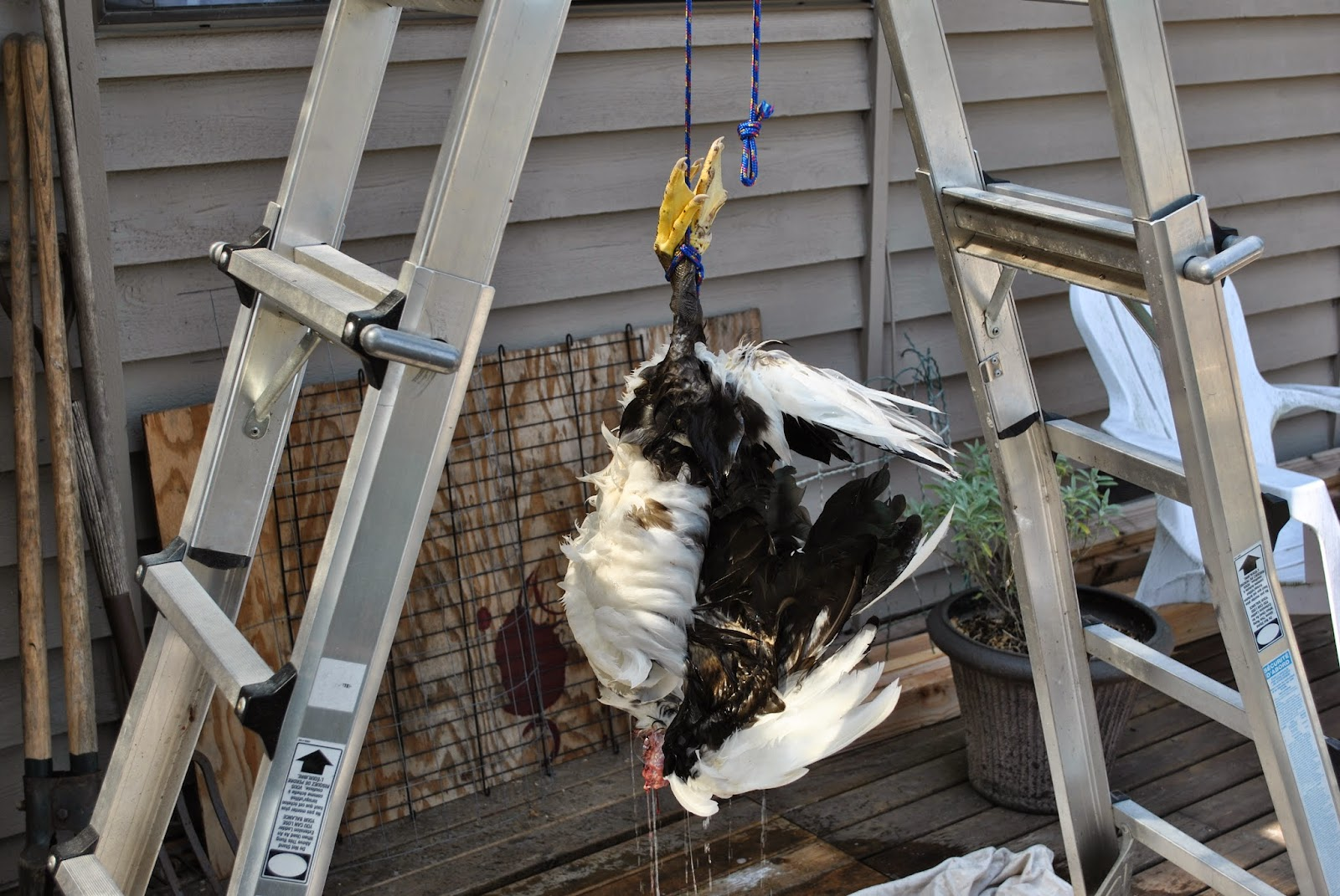 hanging a duck to pluck