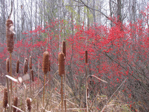 winterberry and cattail